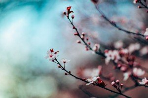 Blossoms of a Cherry Tree