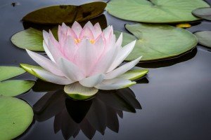 A lotus flower Rests on a Pond