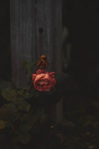 A Rose Dying in the Winter